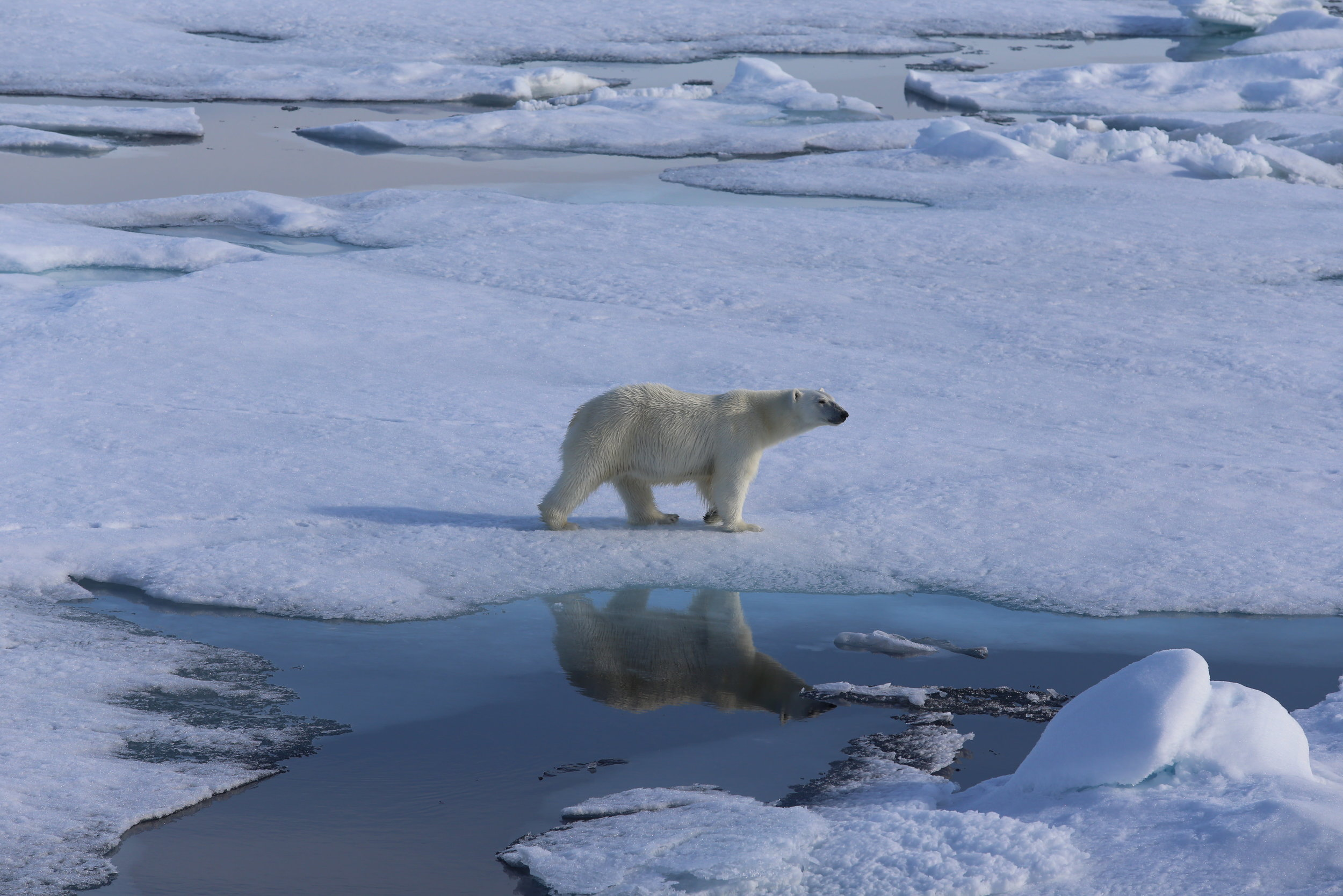 Polar bears use sea ice to hunt their favourite prey, ringed seals. Photo: Magnus Andersen / Norwegian Polar Institute