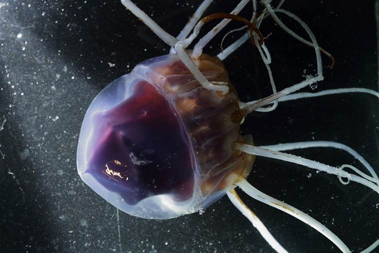A helmet jellyfish came slowly drifting into the harbour in Ny-Ålesund. The species has never before been observed in Svalbard. Photo: Geir Johnsen / Norwegian University of Science and Technology