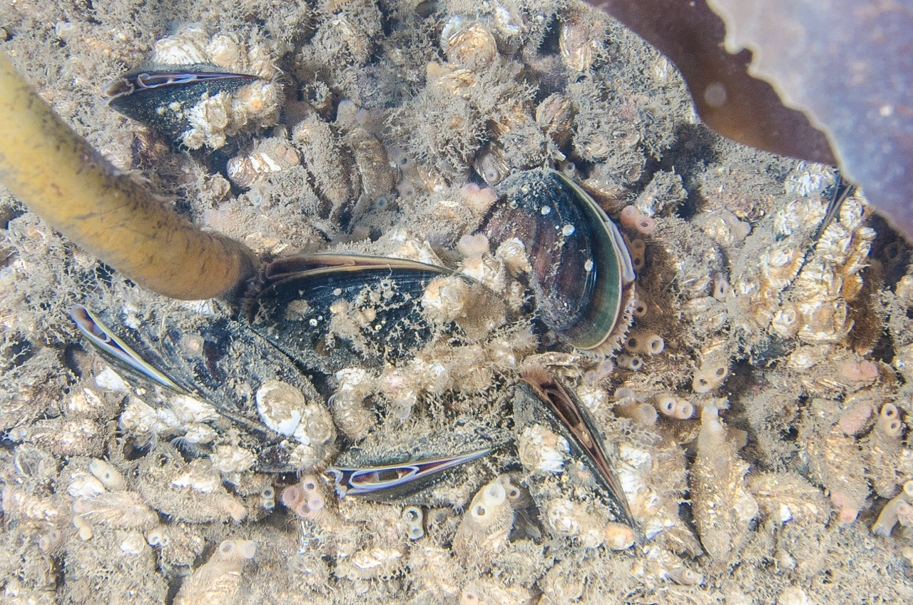 Live mussels from Bykaia in Longyearbyen. Even though they all look alike, new studies show that these are probably individuals with genetic material from two or three different species. Photo: Peter Leopold / UiT The Arctic University of Norway