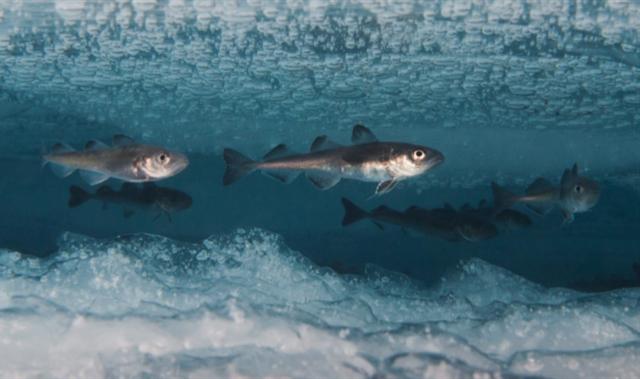 polartorsk under is.png