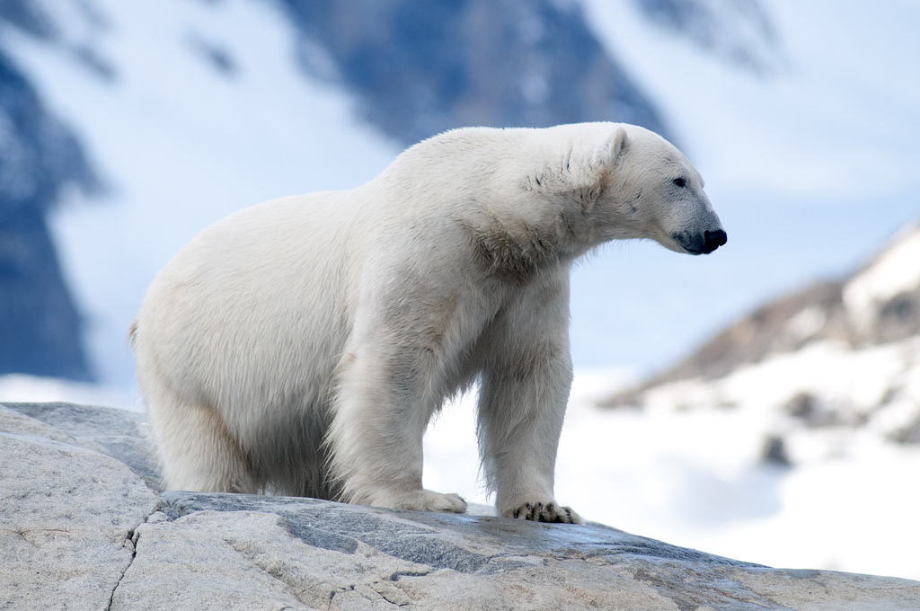 With ice melt making it difficult for polar bears to hunt for seals, they are coming up on land to feed, targeting colonies of birds such as eiders and murres. Photo: Peter Prokosch / GRID-Arendal