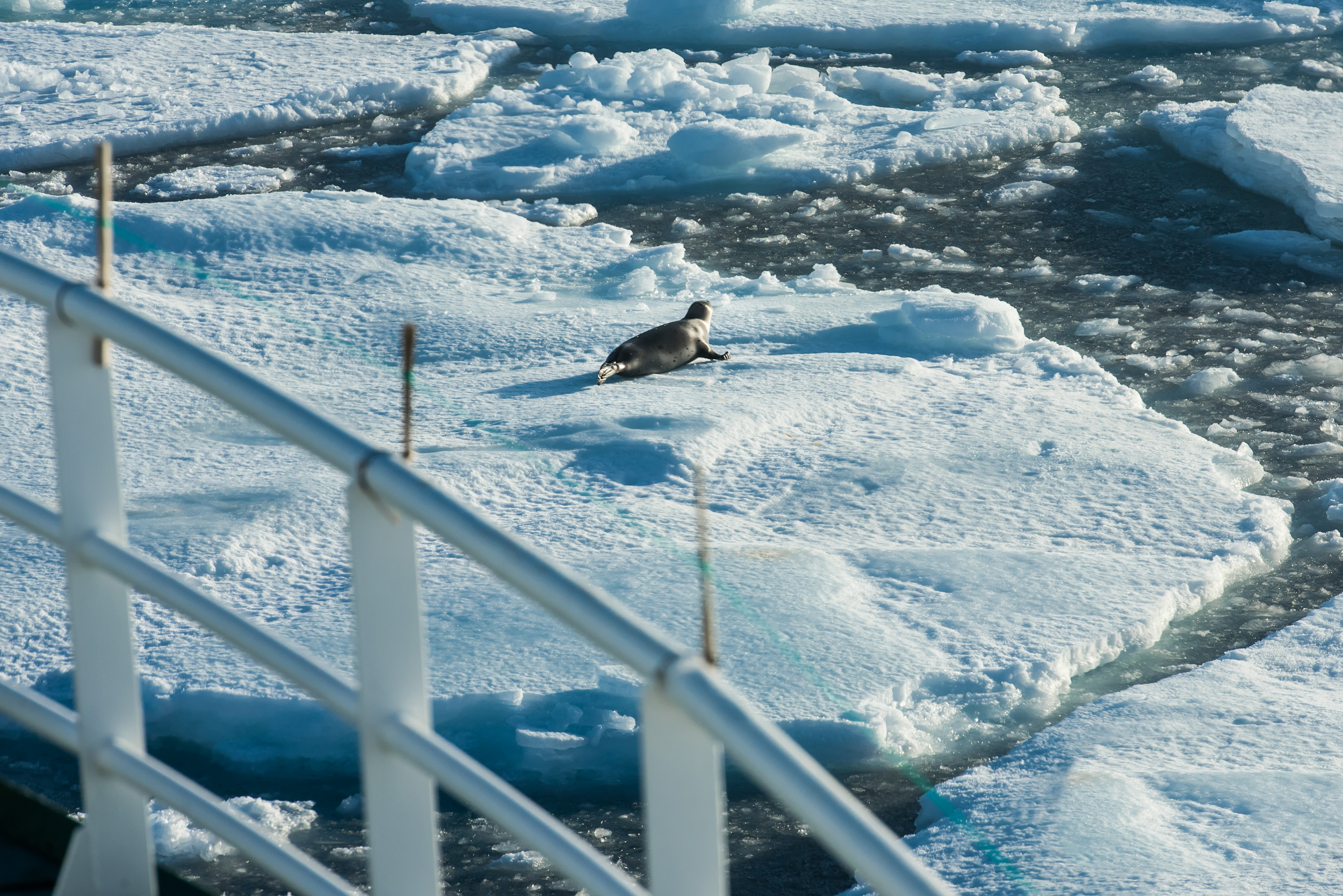 Climate change leads to dramatic upheavals in the Arctic Ocean. The physical environment is changing quickly with increased temperatures and reduced ice cover. This can have serious consequences for arctic species such as seals and other marine mammals. JONAA©Elvar H. Hallfredsson, Marine Research Institute