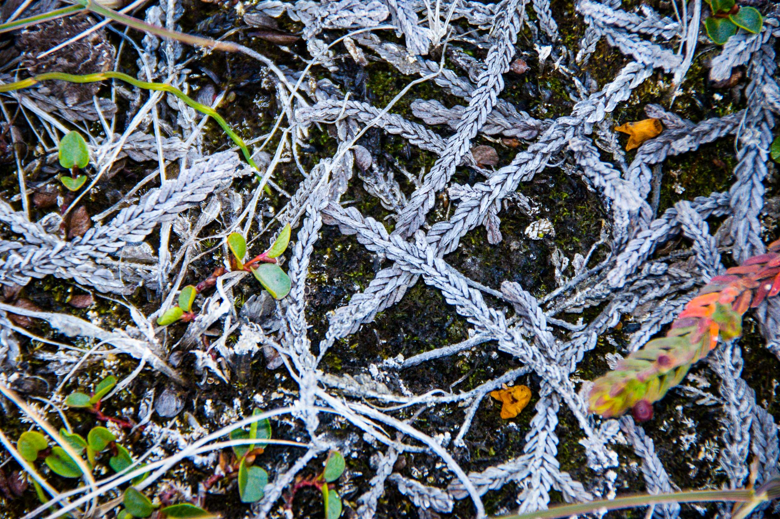 Detail of dead shoots of white arctic bell-heather. Polar willow is seen with green oval leaves. JONAA©Jarle W. Bjerke