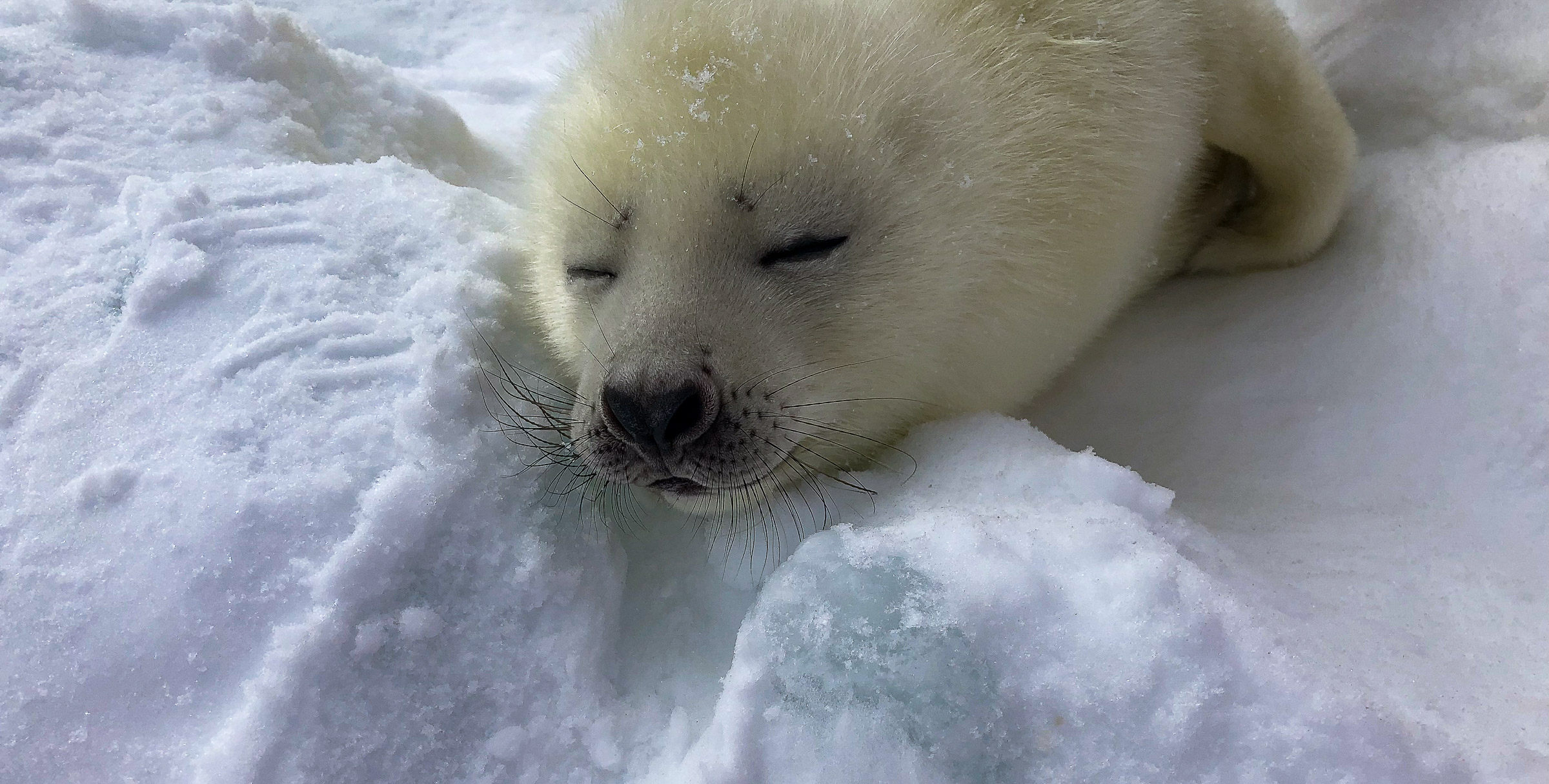 Resting on the ice.  JONAA©Andrea King