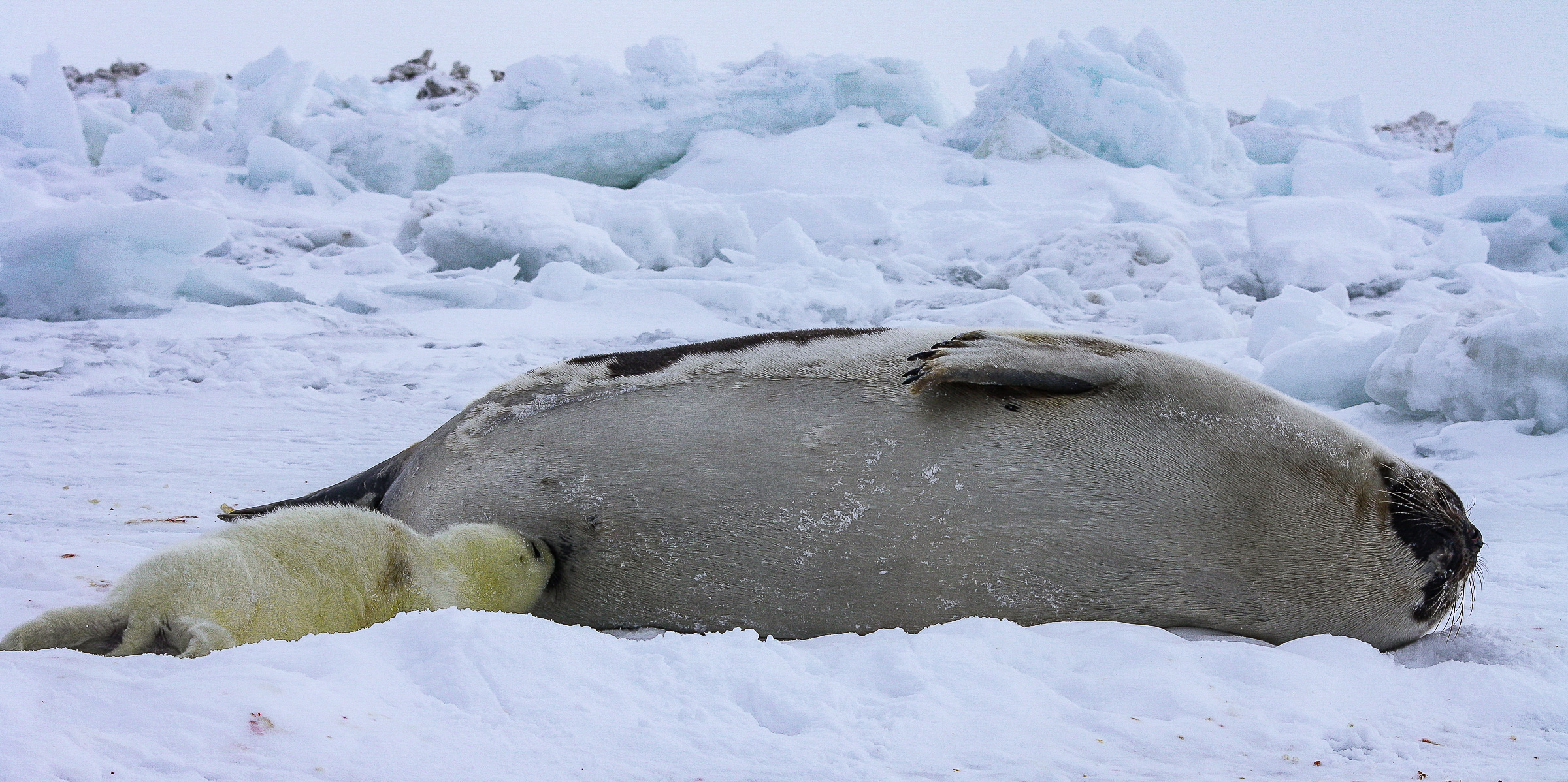 Weaning is rather sudden; the mother turns from nursing to mating, leaving the pup behind on the ice. Within a few days after weaning, it sheds its white coat. JONAA©Andrea King