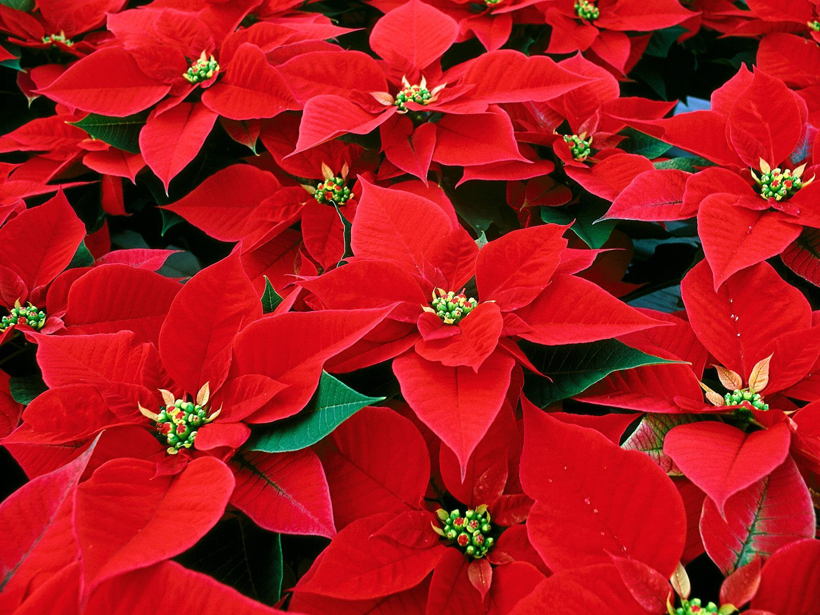 POINSETTIAORDERS - GET YOURS TODAY!