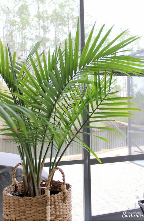 How to Care for an Indoor Majesty Palm — House Full of