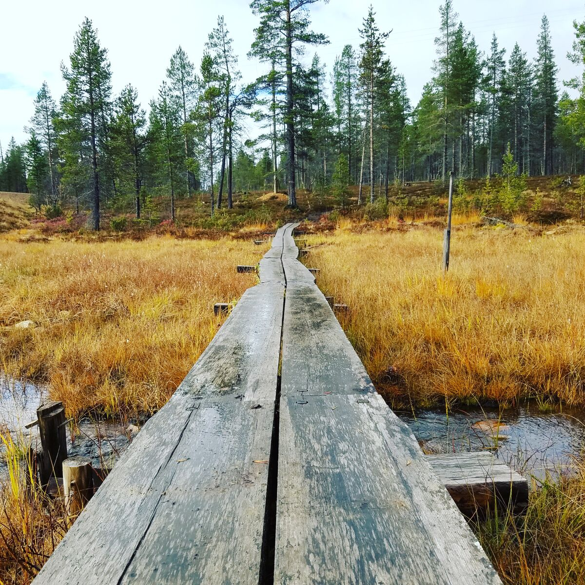Boardwalk Into The Woods.jpg