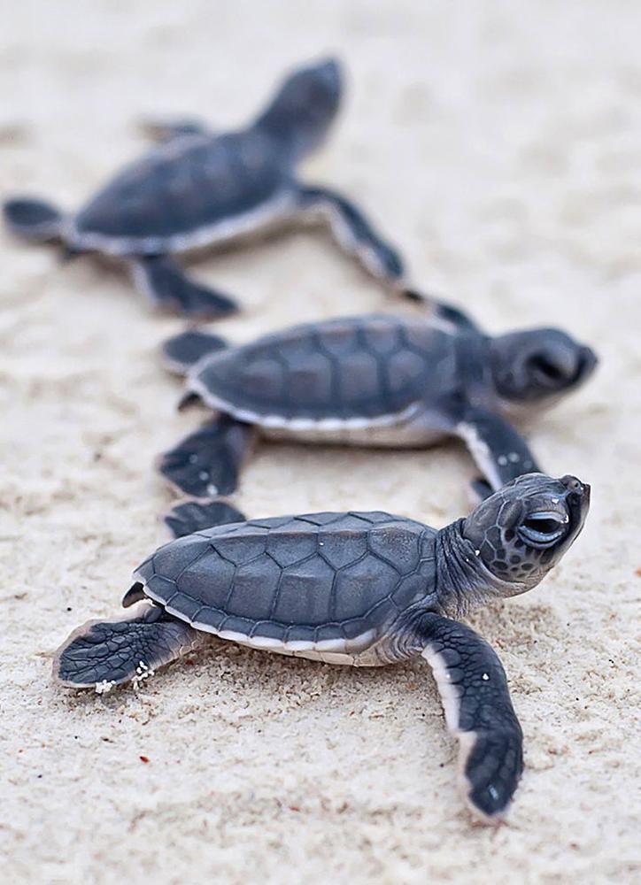 Dany Island Baby turtles.jpg