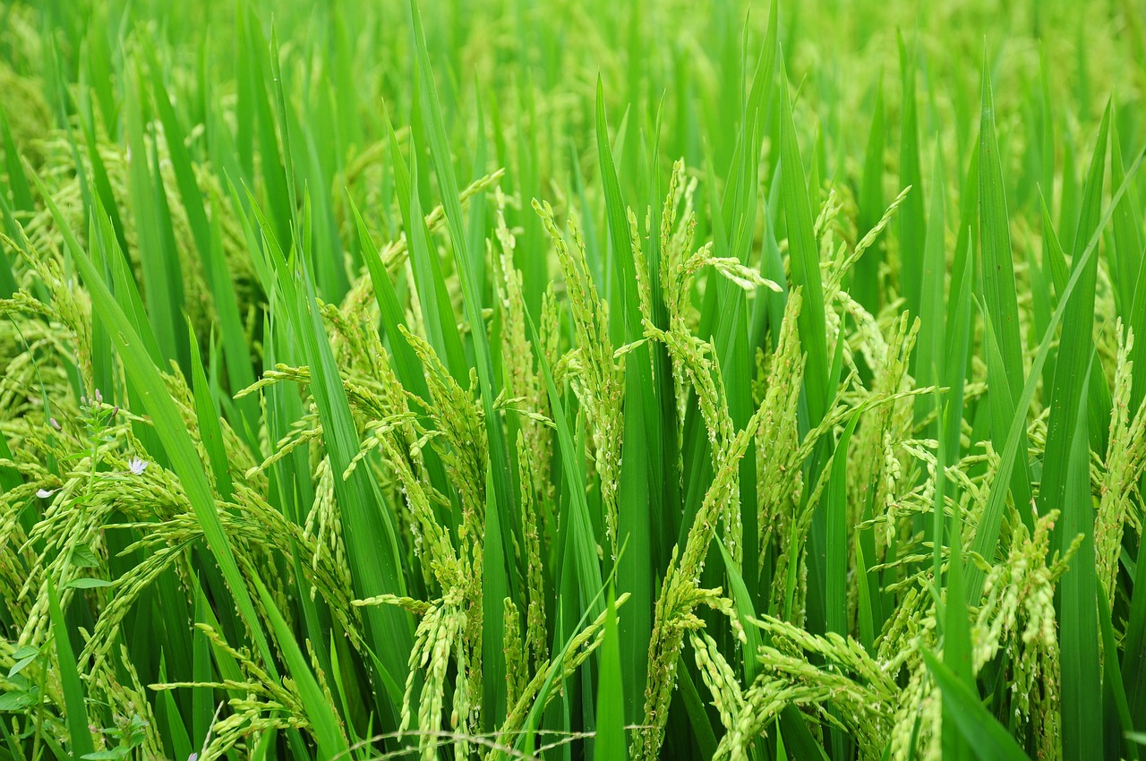 Offering the premier marketing mix for the CA rice producer .