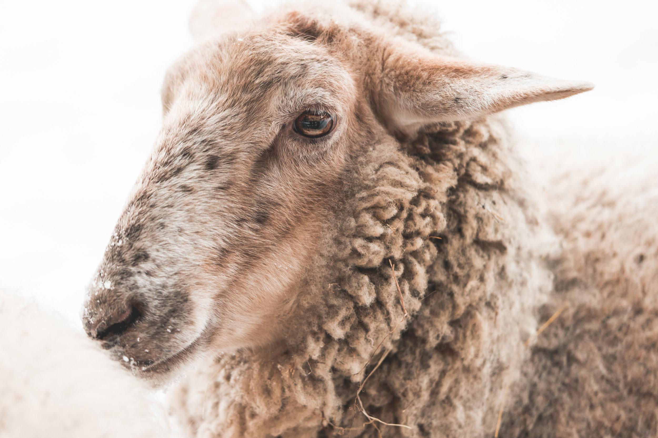 portrait-of-sheep-in-winter-picjumbo-com.jpg