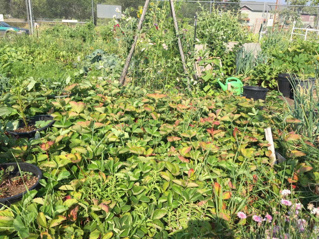 Strawberries (in front) in a matted planting.