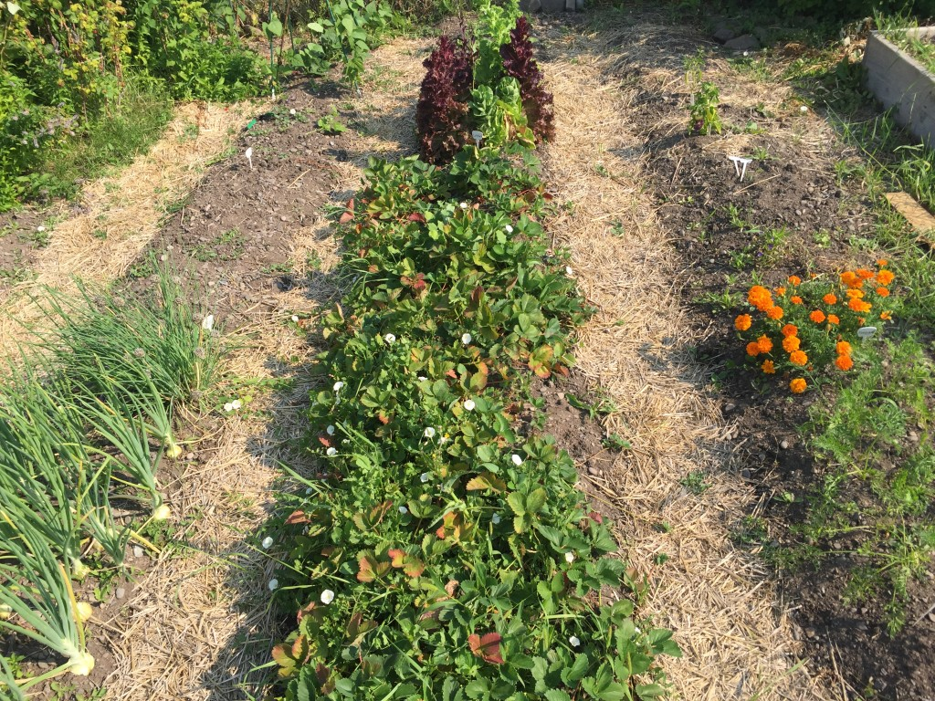 Strawberries in a spaced row planting.