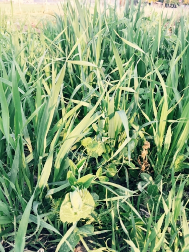 Here at Garden City Harvest, we like to grow a mix of oats and peas for cover crop.