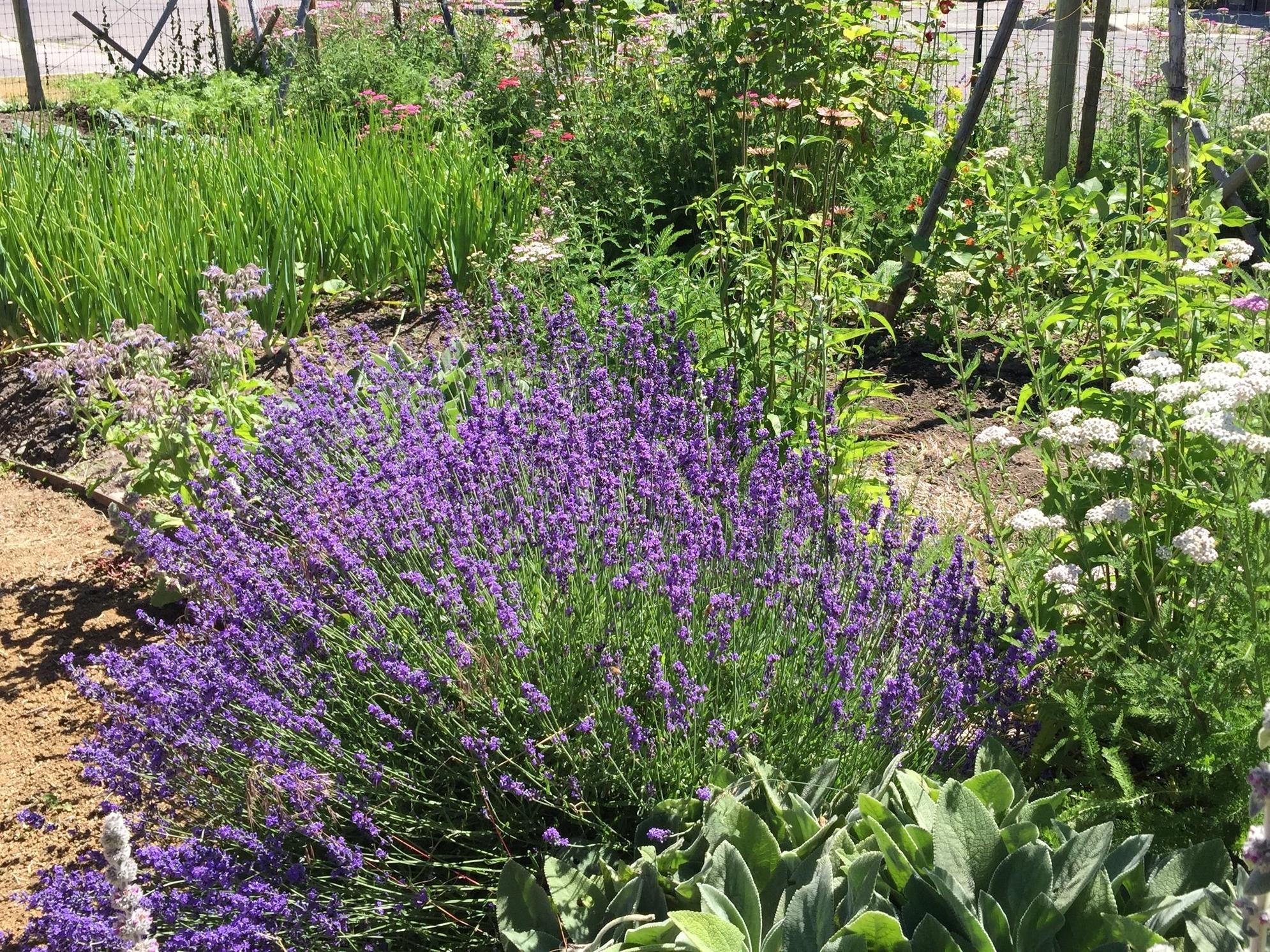 Lavender Berry Scones -