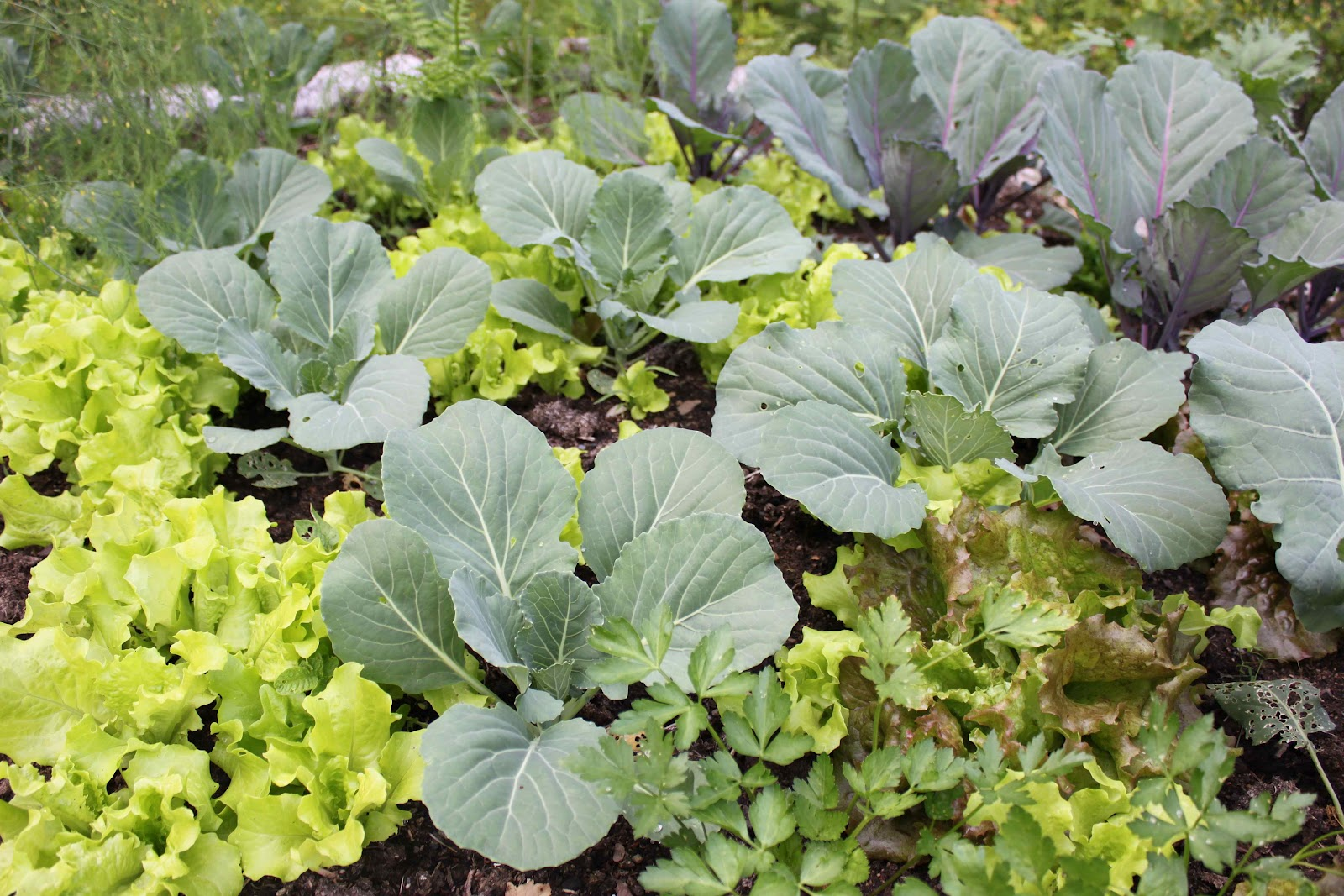 Inter-Plant - This means planting two different crops together based on their growth pattern. As a rule of thumb, you'll want to pair slow growing large crops with fast growing small crops. Cabbages and lettuce is a great example. Kale is a fast maturing cool season crop that grows well inter cropped with pole beans or tomatoes. Bonus: Planting tightly (while still allowing your plants the room to mature) leaves less room for weeds while increasing the diversity of the garden.