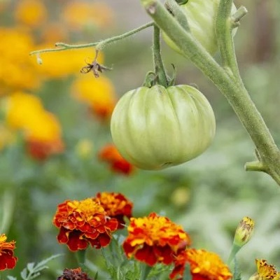 Companion Plant - Some plants love to be planted together, and often for the betterment of the garden. Planting marigolds with your tomatoes will help deter tomato pests. Other herbs, like tarragon, can deter pests too. For more on companion planting, click on the button below.