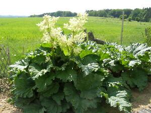 Rhubarb plant.jpg
