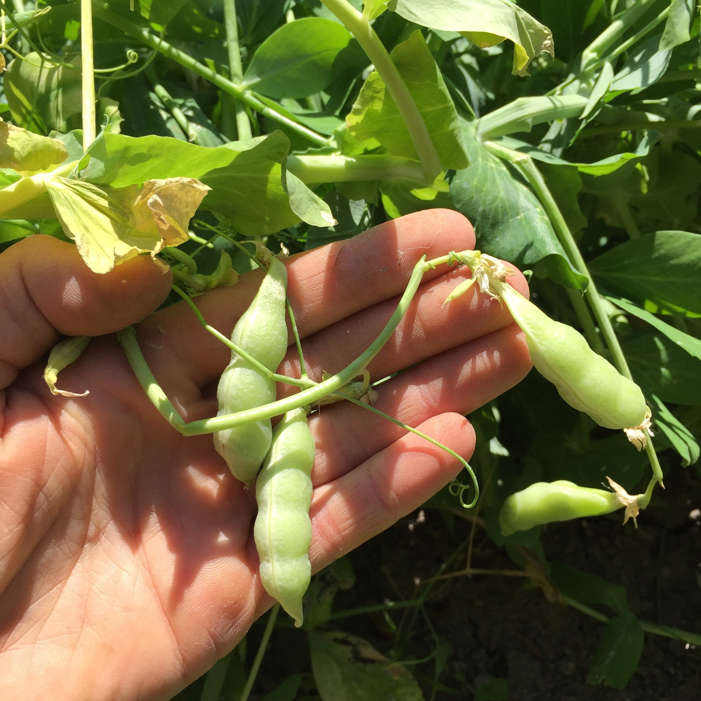 These pea pods are beginning to shrink against the seeds, but they're not quite ready yet.