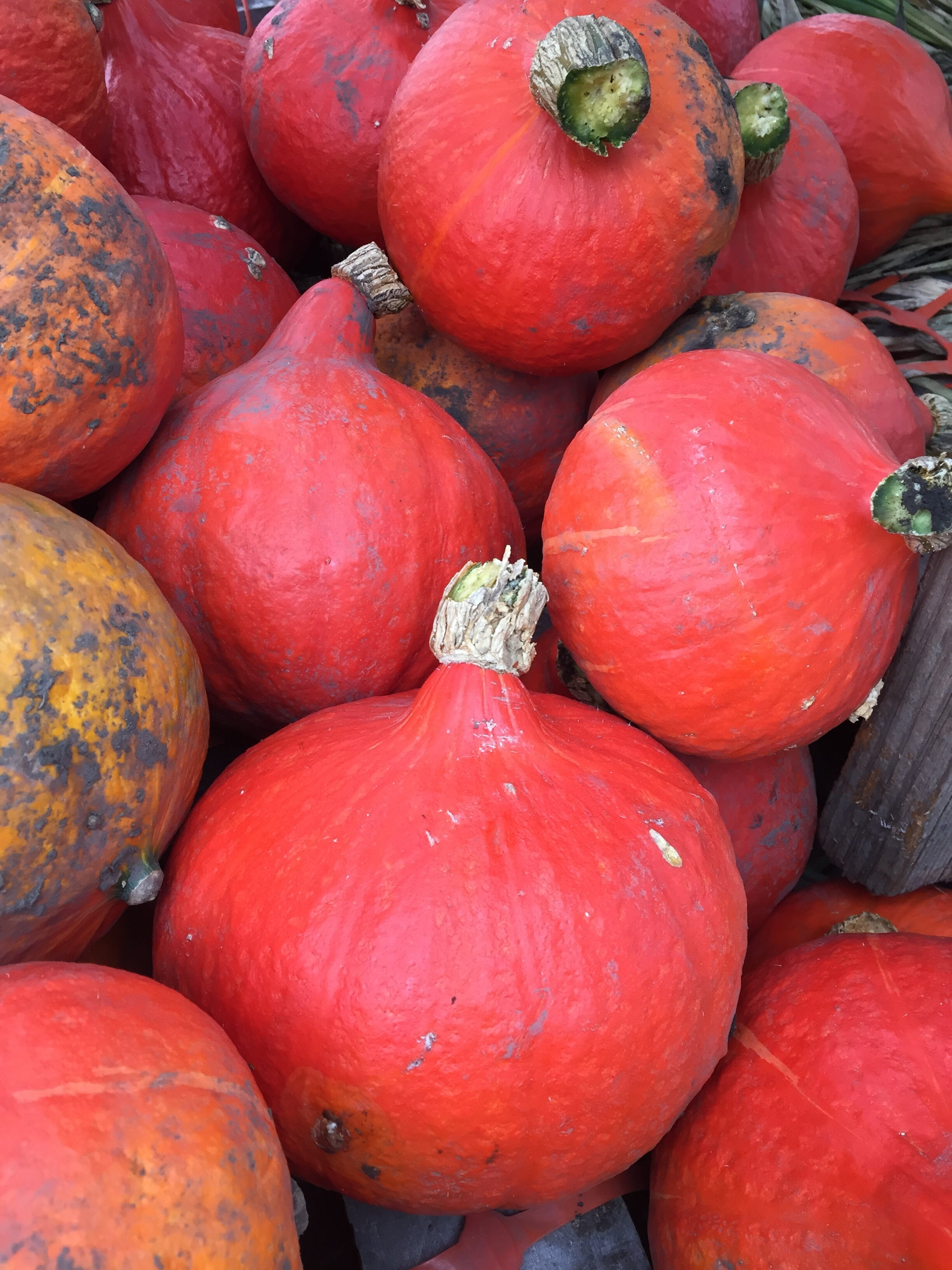 Red kuri winter squash