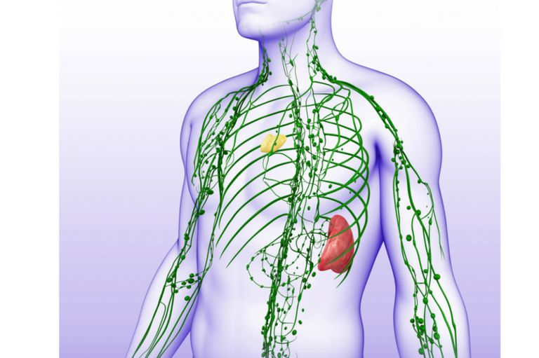 Did you know? - Within us all there is a silent system working to keep us health - the Lymphatic System. Without it our bodies would swell up like balloons, swamping our cells with stagnant fluid. The Lymphatic System's impact is so far reaching that many don't even realize that minor aches and pains, low energy and susceptibility to colds and flu may be due to a sluggish Lymphatic System and a compromised Immune System.