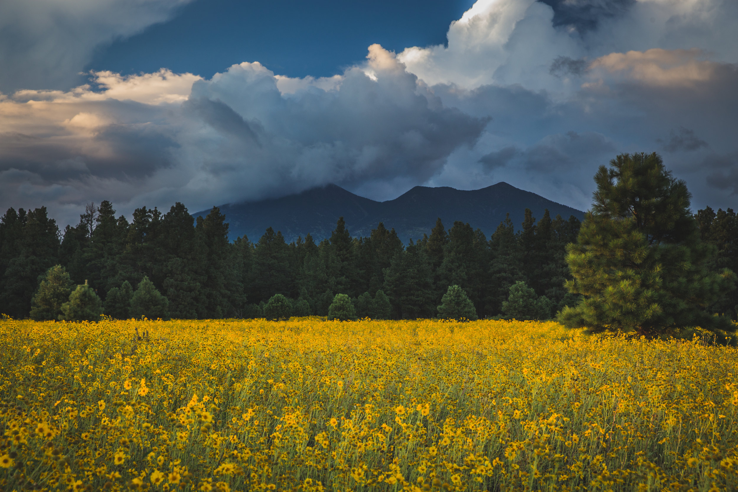 Monsoon clouds gather over the peaks in early September as the prairies of Flagstaff fill with yellow flowers and undergraduate students trying to get that perfect instagram photo!