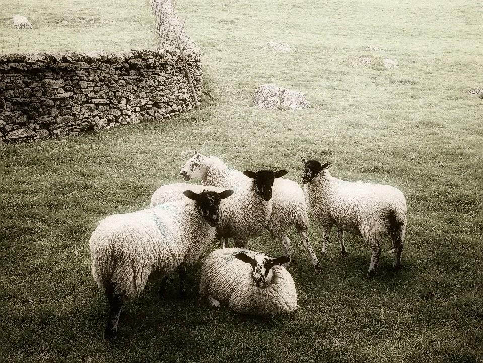 photogenic-sheep-in-swaledale-02.jpeg