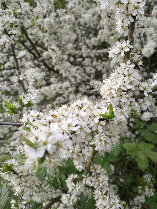 Blackthorn blossom - a short season, especially when the weather is so poor, but how lovely while it lasts...