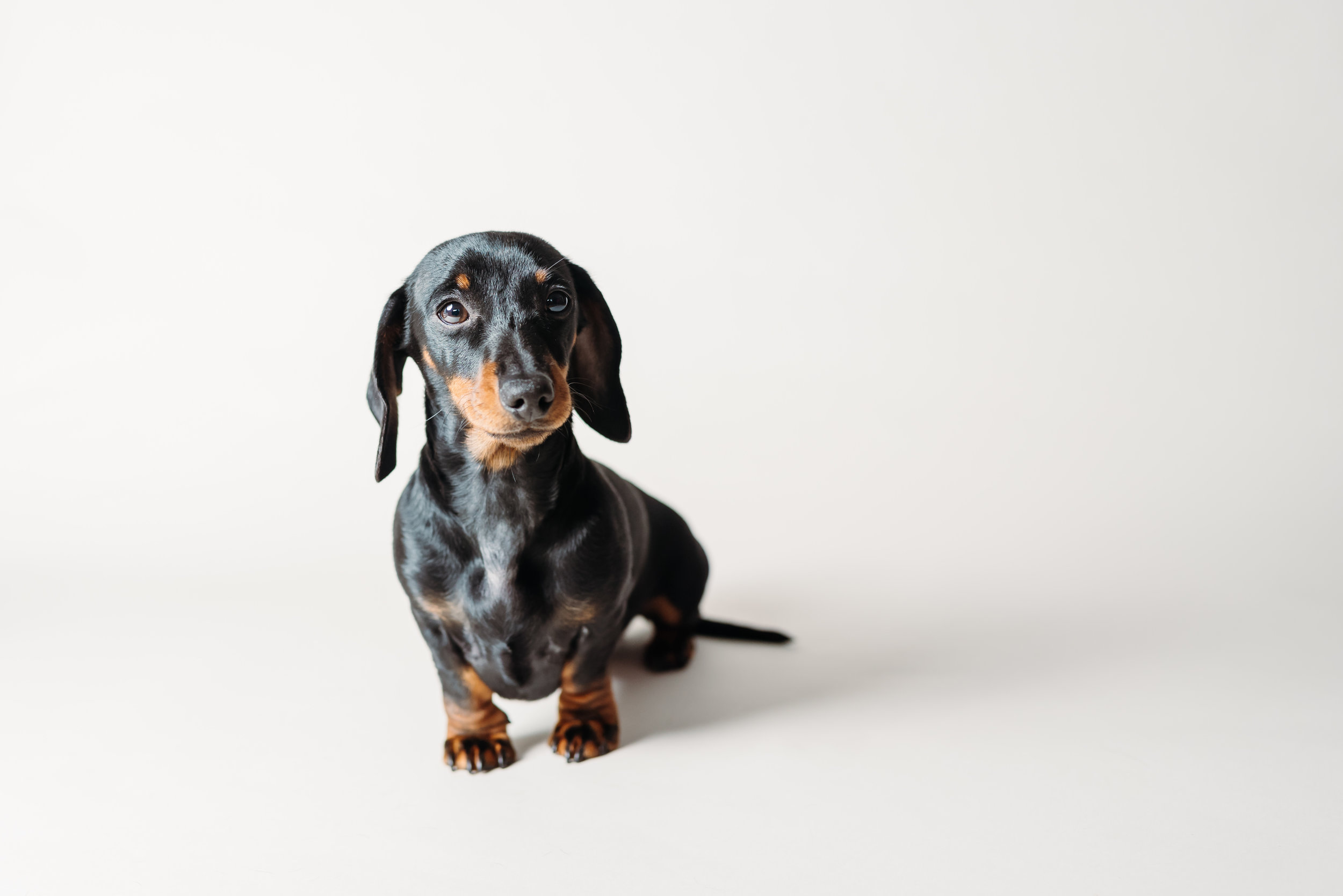 Lancashire pet photographer - mini dachshund