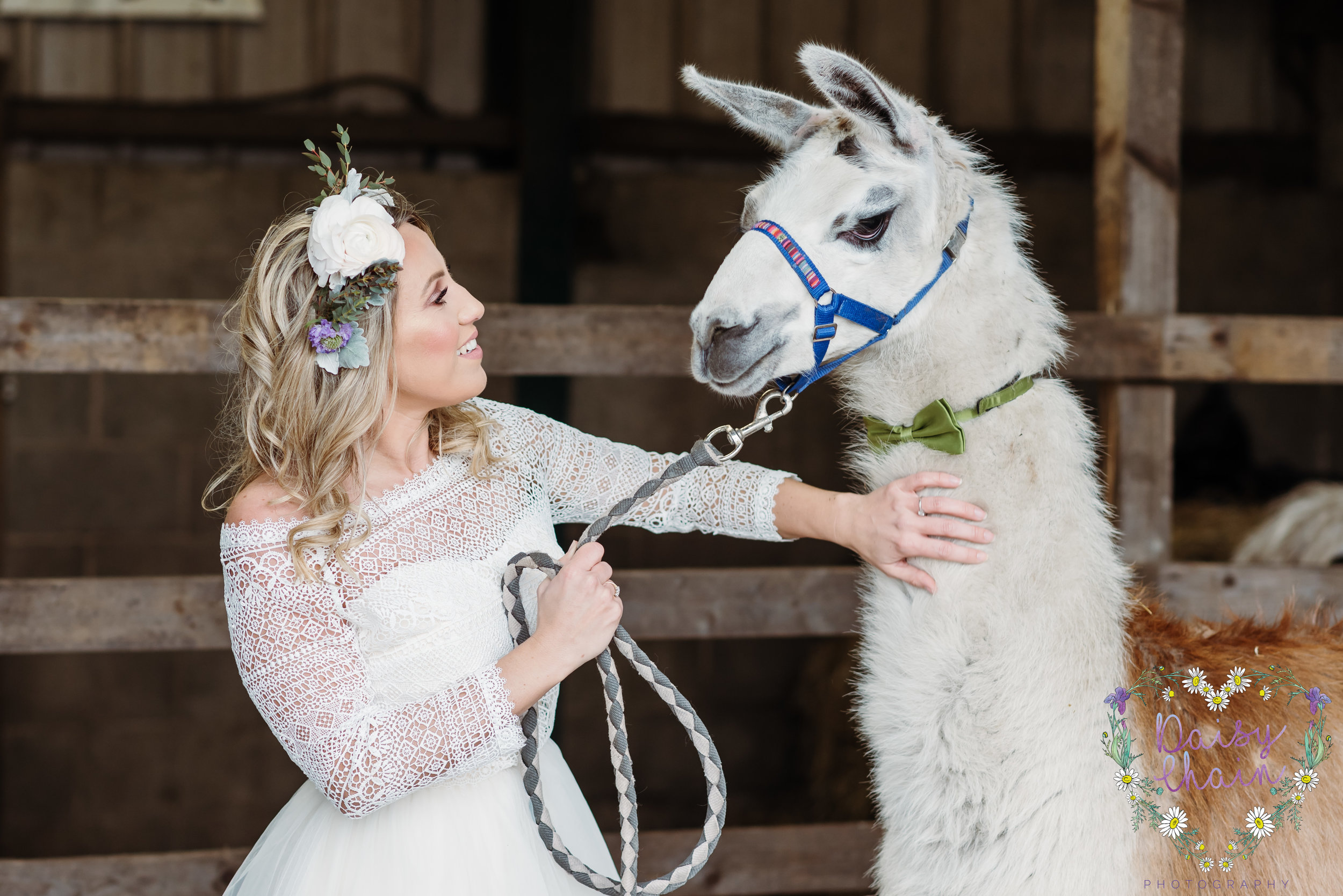 Llamas at weddings - lancashire