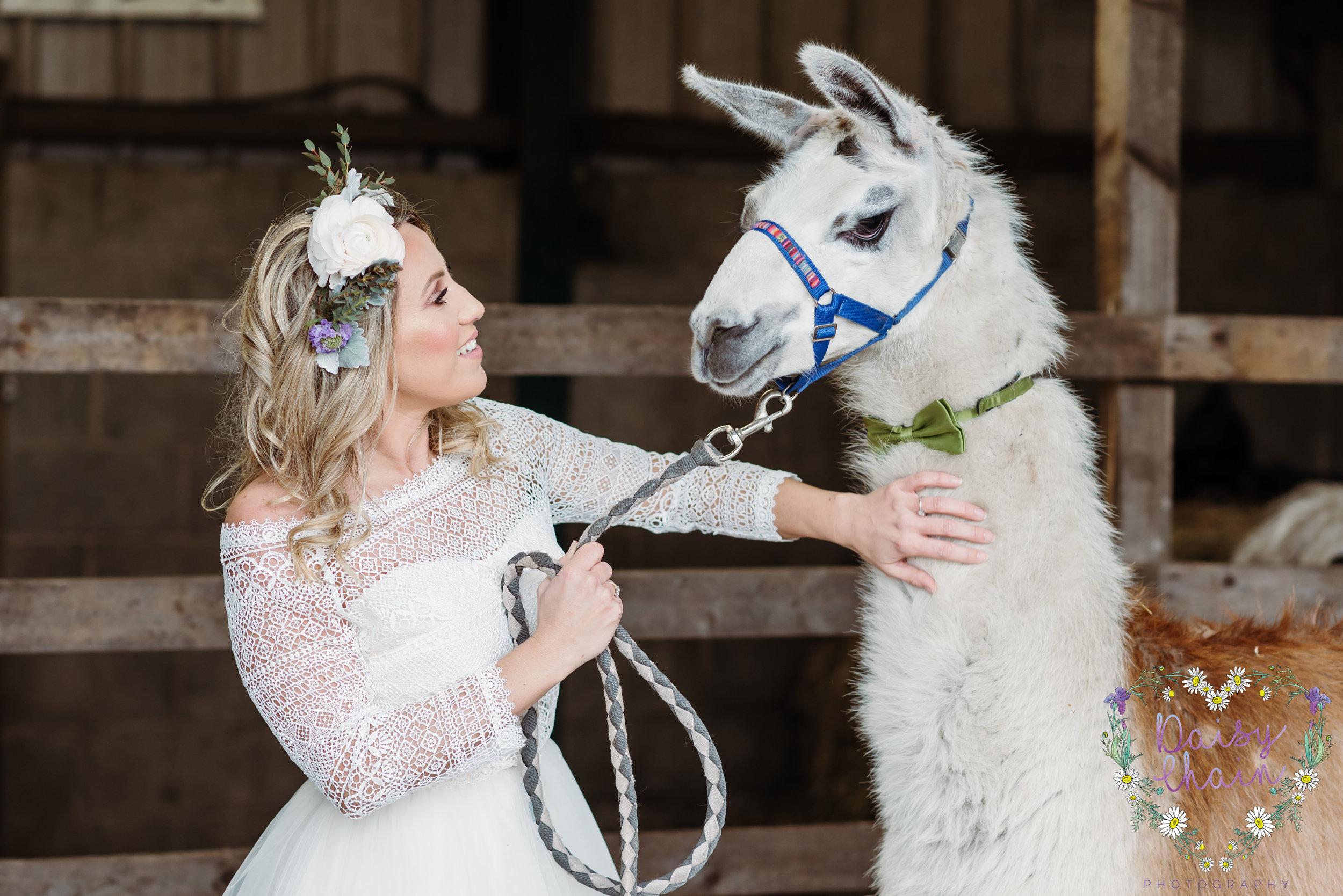 Llamas at weddings - lancashire