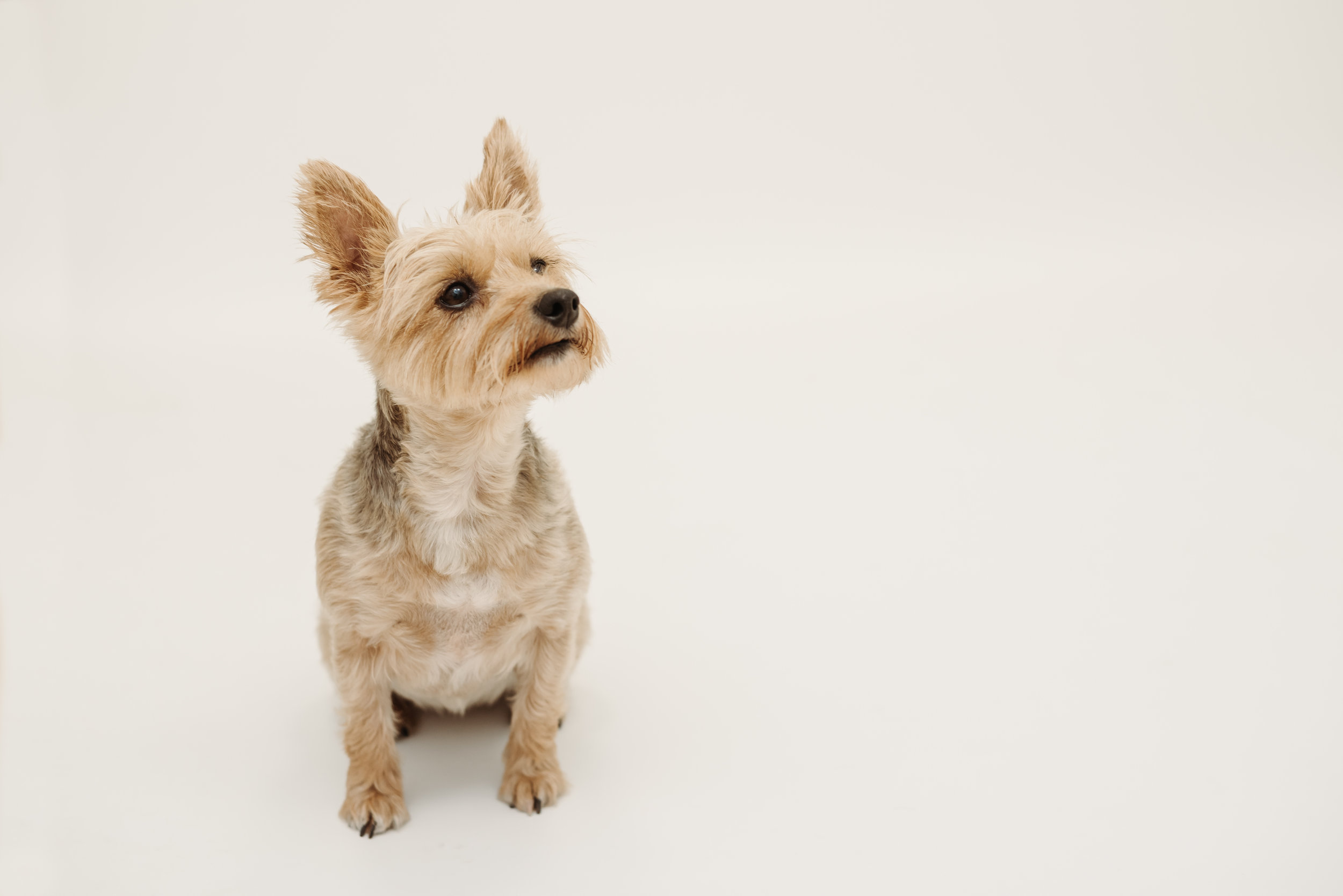 Yorkie photo shoot - Lancashire