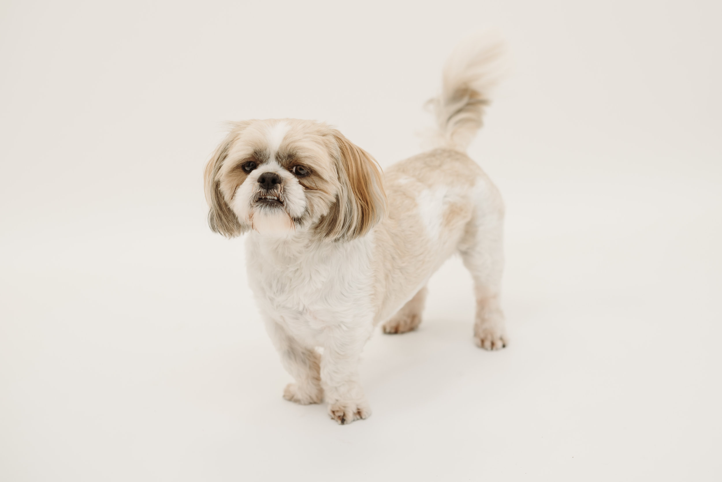 Shih tzu photo shoot - lancashire