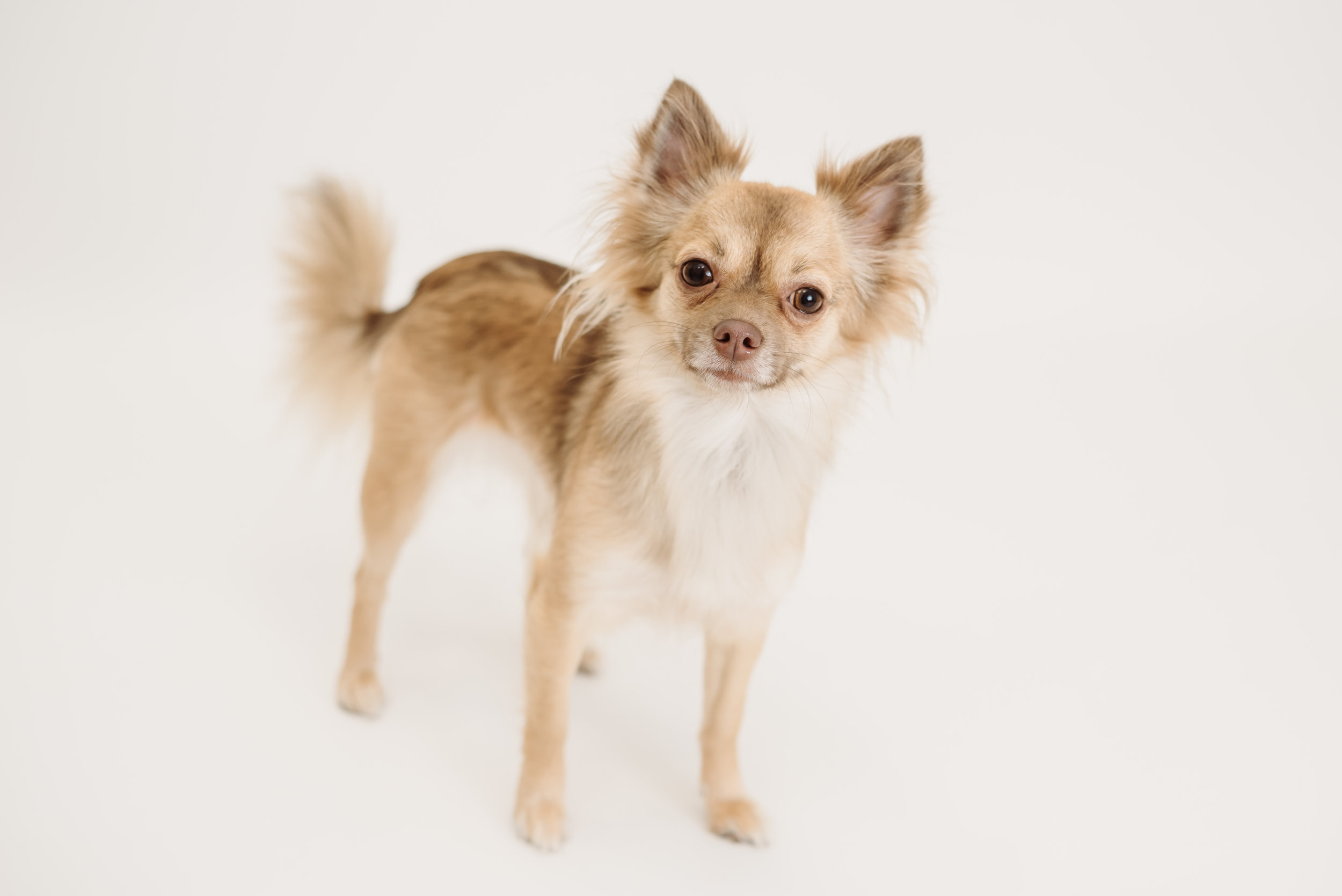 Chihuahua photo shoot - lancashire