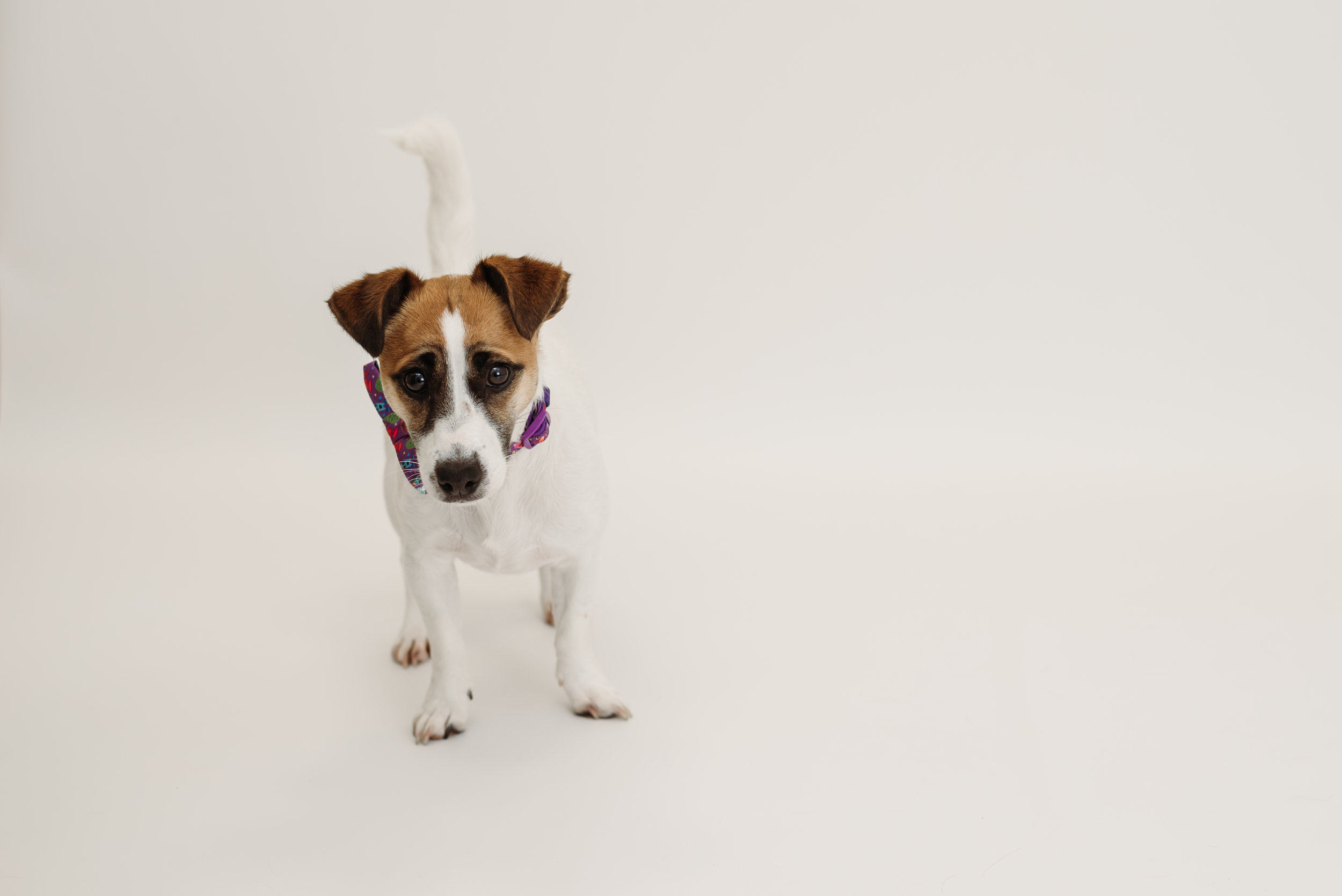 Jack Russel Terrier photo shoot - Great Harwood