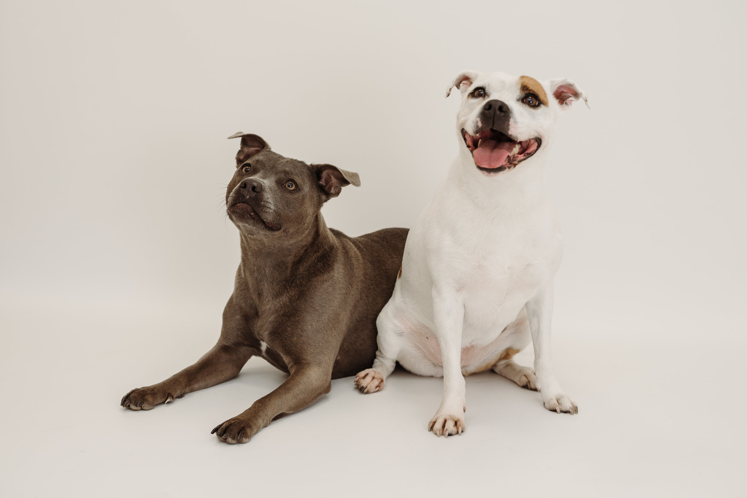 Staffy - photo shoot, Lancashire