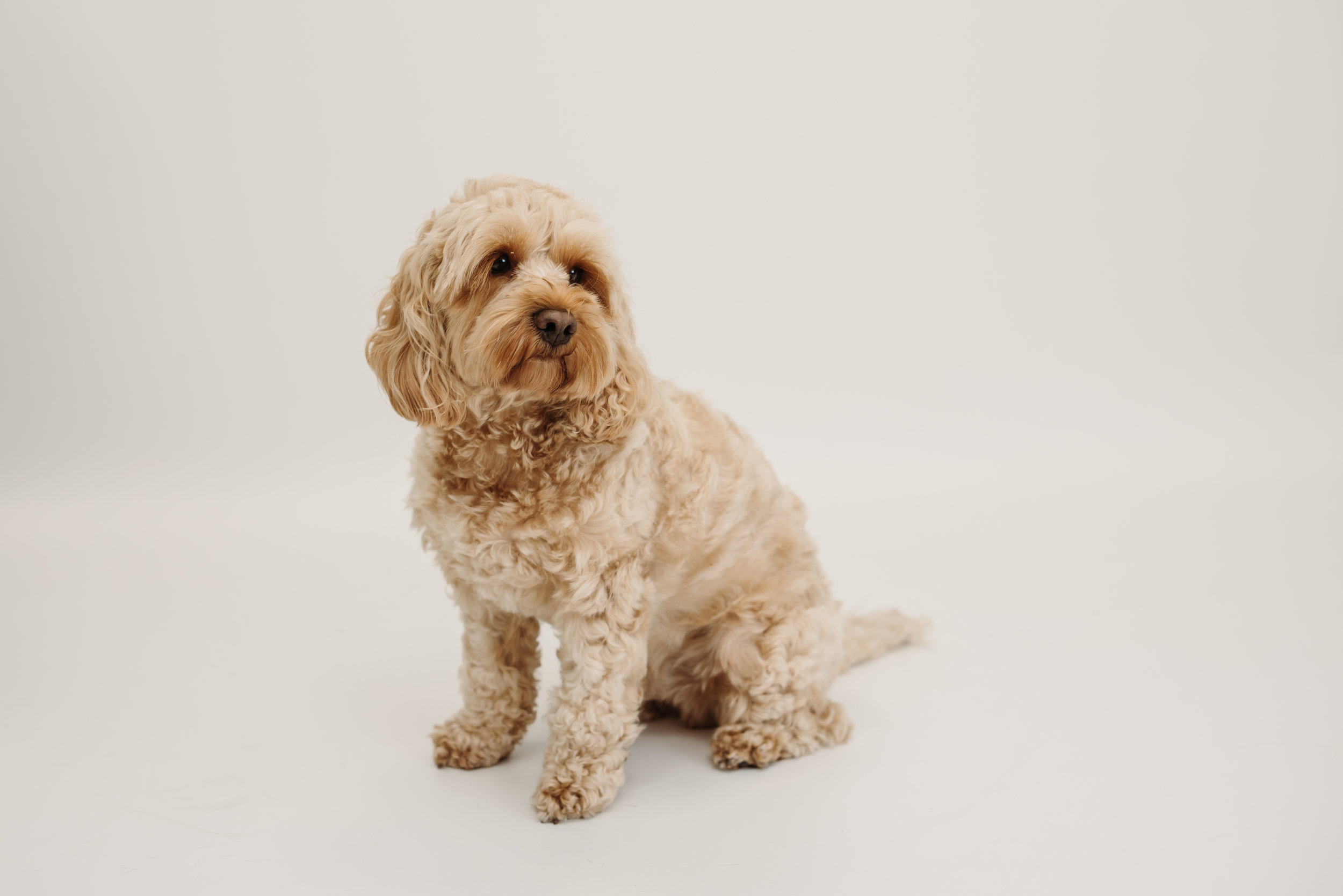 Cockapoo photo shoot - Lancashire