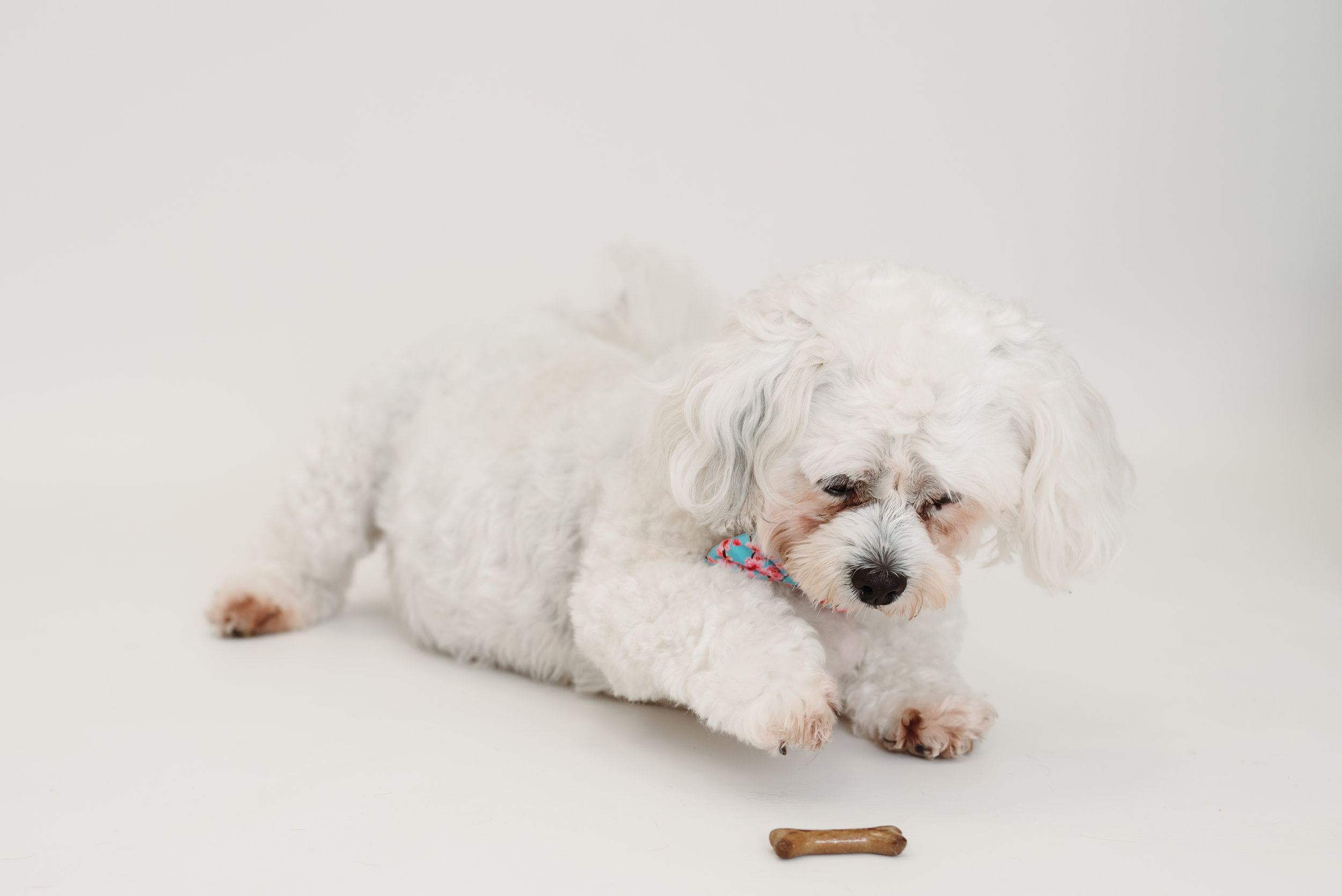 Toy poodle photo shoot