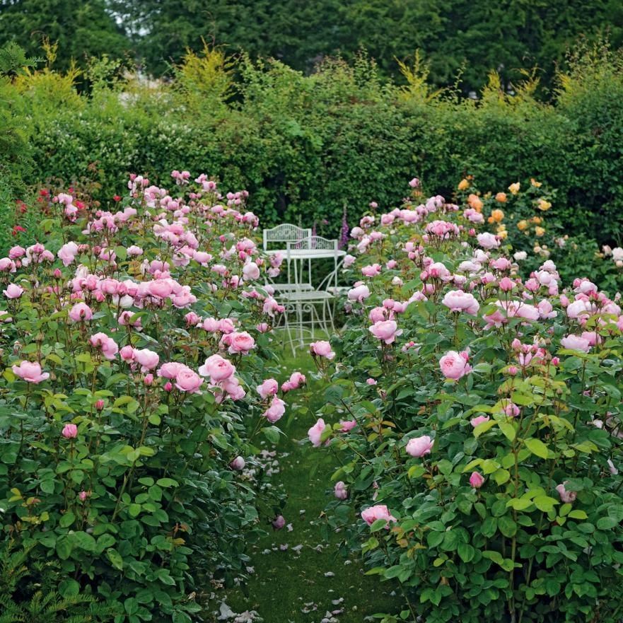 'The Alnwick' rose. Photo credit: davidaustinroses.com