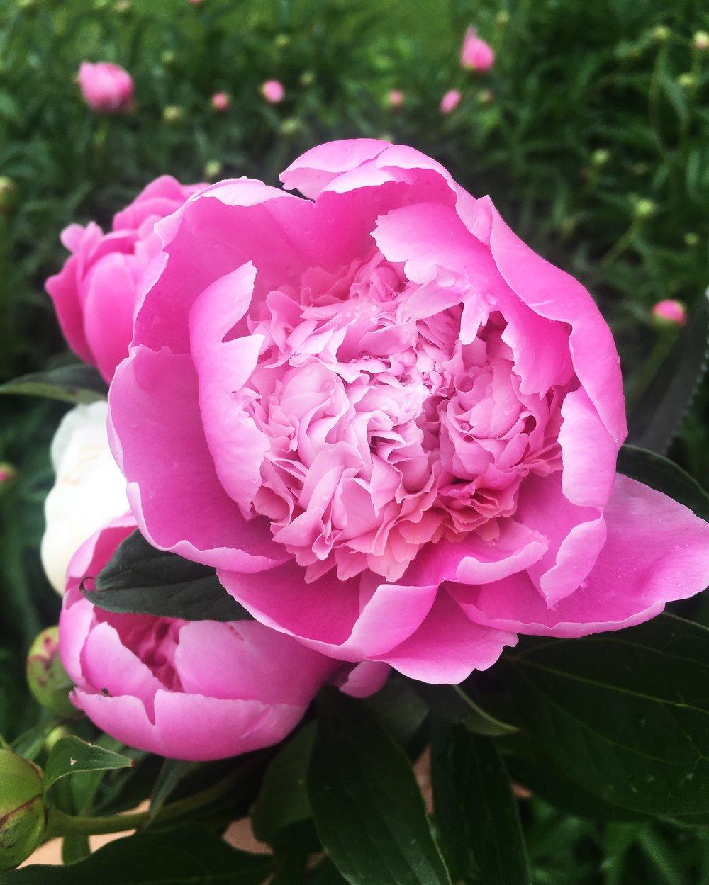 Peonies in bloom!