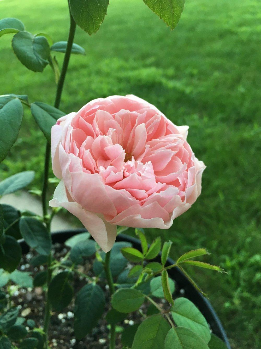 'Alnwick' rose by David Austen