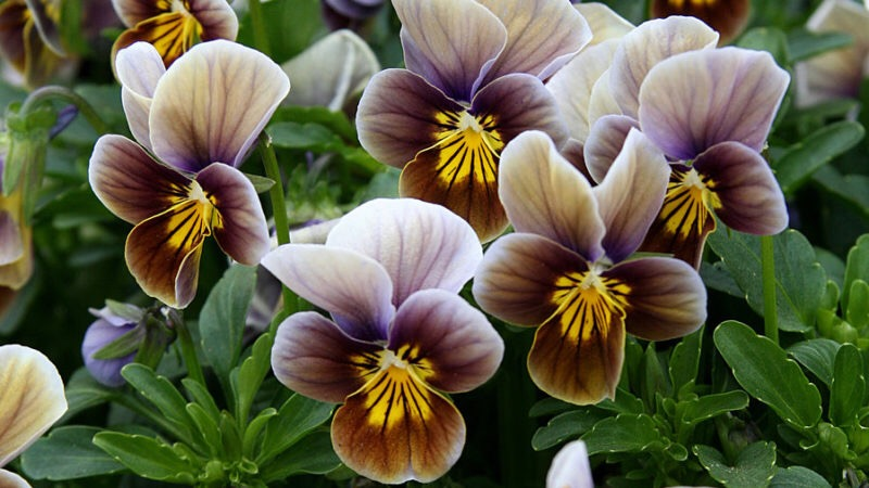 No. 6 Velour Frosted Chocolate viola