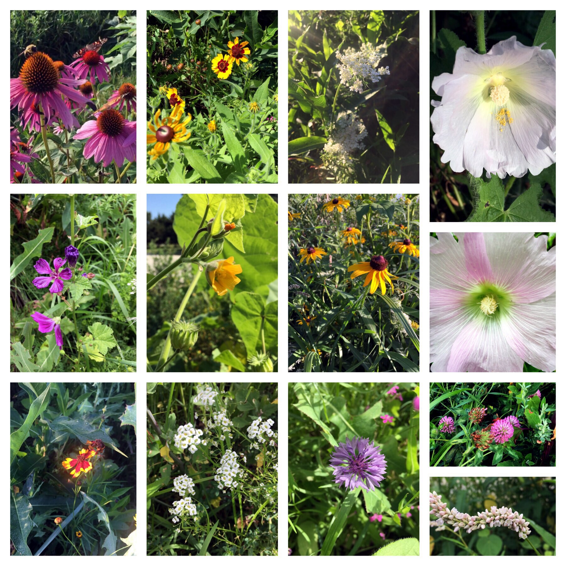 From top left to bottom right— Echinacea, Black Eyed Susan, Queen Anne's Lace, Hollyhock, High Mallow, Indian Mallow, Rudbeckia, Hollyhock, Coreopsis, Cornflower, Clover and Pinkweed.