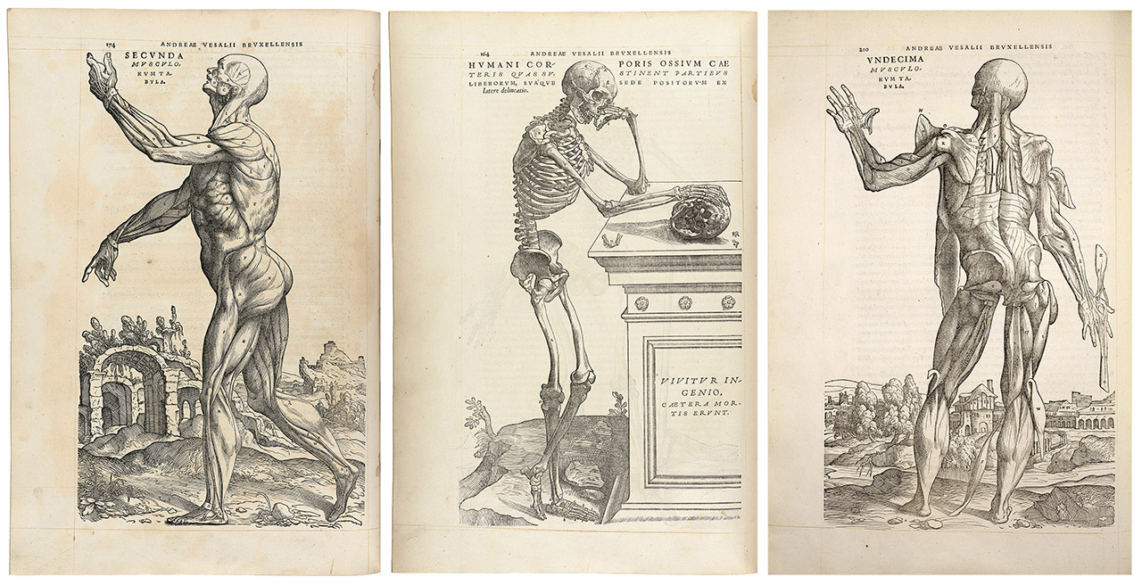 Figure 1.    Pages from De humani corporis fabrica, 1543, which was likely illustrated by John Stephen of Calcar, based on the dissections of the author, Andreas Vesalius. This anatomical text represents a pivotal shift in the approach to dissection, depiction of anatomy, and dissemination of medical knowledge. Images adapted from the Wellcome Collection, used under creative commons licence (   CC BY 4.0   ).