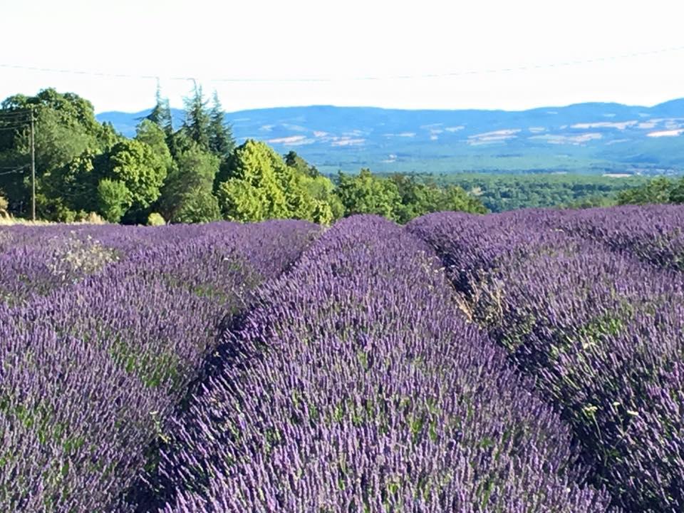 Gartenfenster Lavendel Provence (7).jpg
