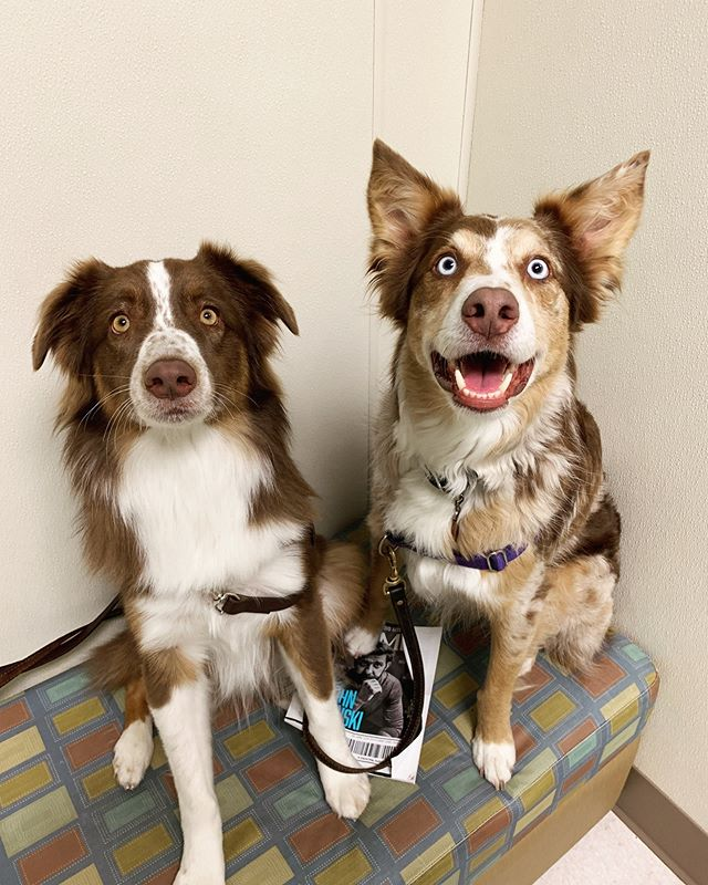 The most attentive brother and sister duo came in today for wellness exams and treats, of course. 🐾#danielislandvet #danielislandsc #danielislanddogs