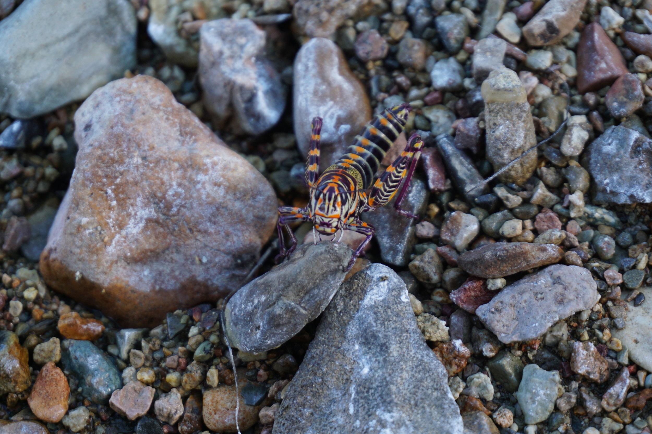 DSC04015 Grasshopper Big Bend Texas.JPG