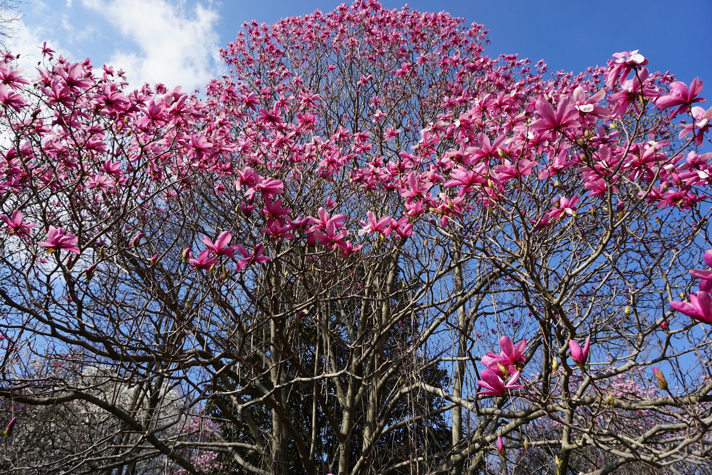 Cylburn Arboretum magnolias.JPG