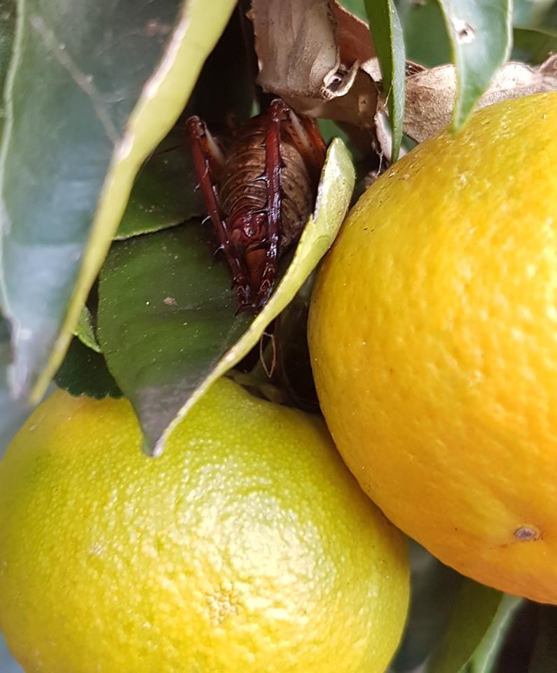 A female  Auckland tree wētä  ( Hemideina thoracica ) hides head-first in the leaves of one of our citrus trees (genus  Citrus ). Mäori called this species tokoriro.