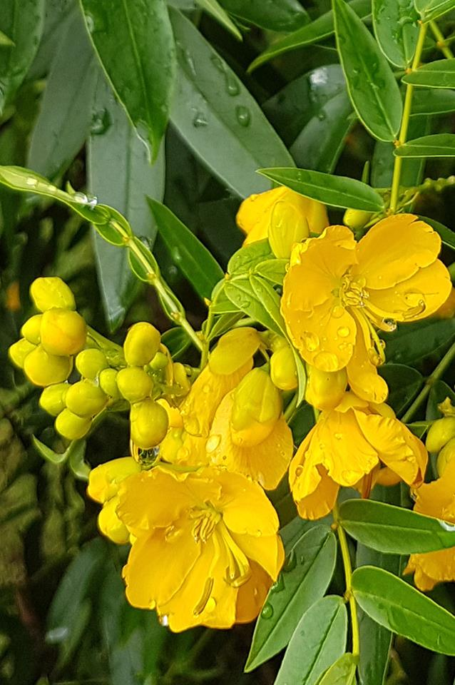 "Our  buttercup tree  ( Senna corymbosa , variety ""John Bull"") has masses of 25 mm buttercup-yellow blooms."